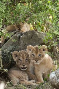 Cubs in the Mara