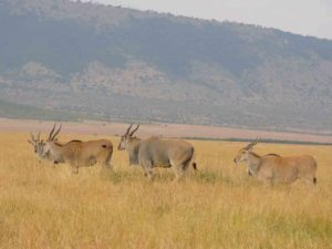 Eland herd in the Mara