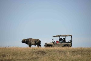 Game drives in open vehicles