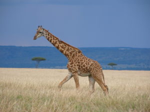 Giraffe and Mara landscape