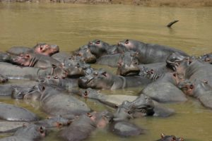 Hippos in the Mara