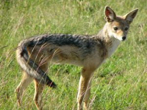 Jackal in the Mara