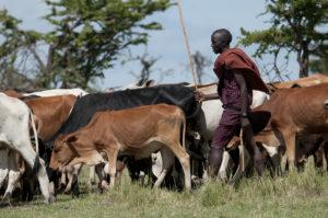 Maasai herdsman