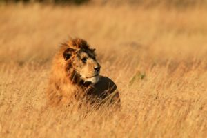 Mara lion in the grass by Mauro Mozzarelli