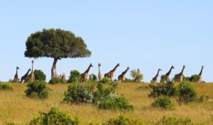 Tower of Giraffe Mara by Simon Kent