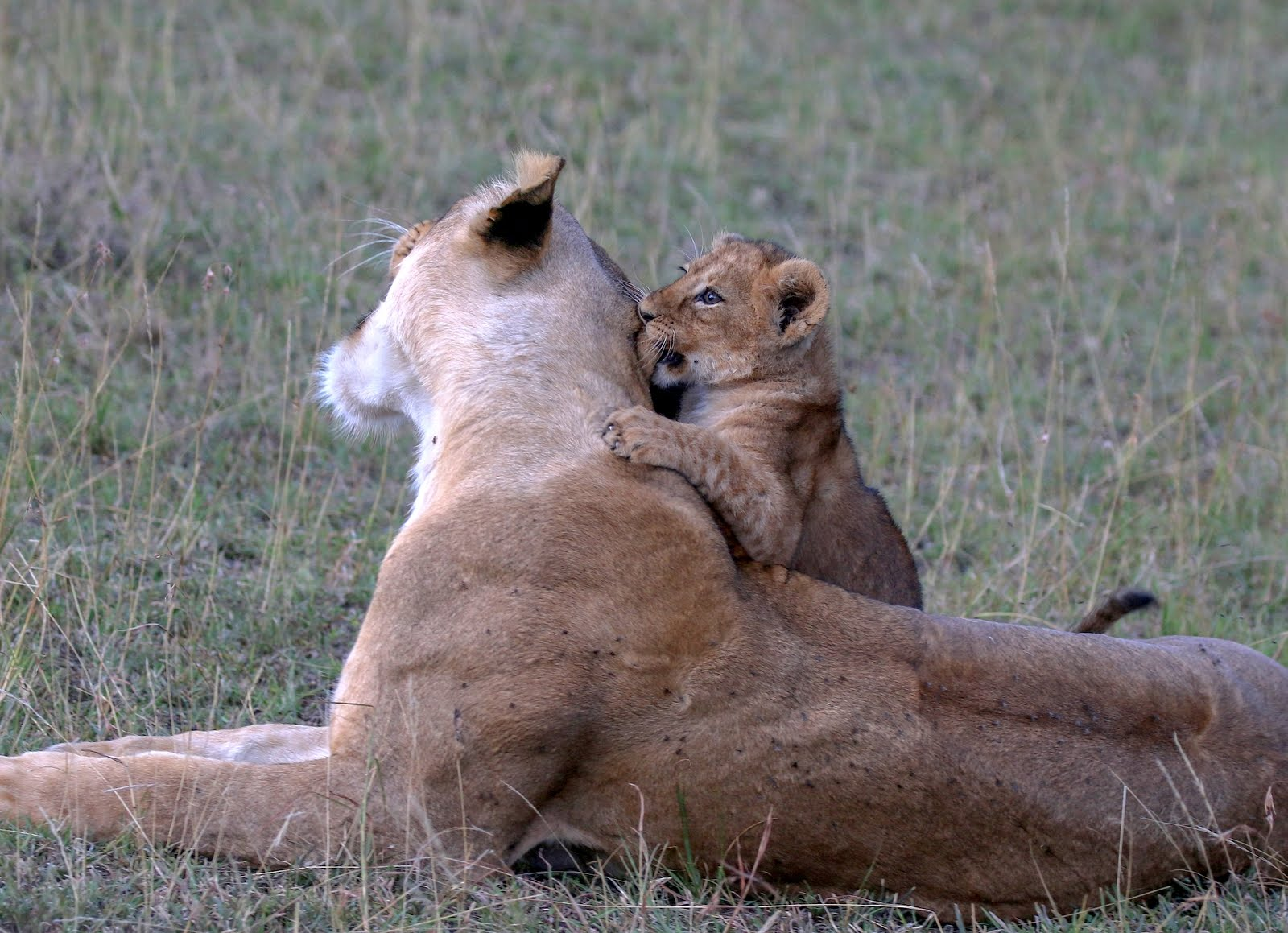 Healthy lion population in the Mara