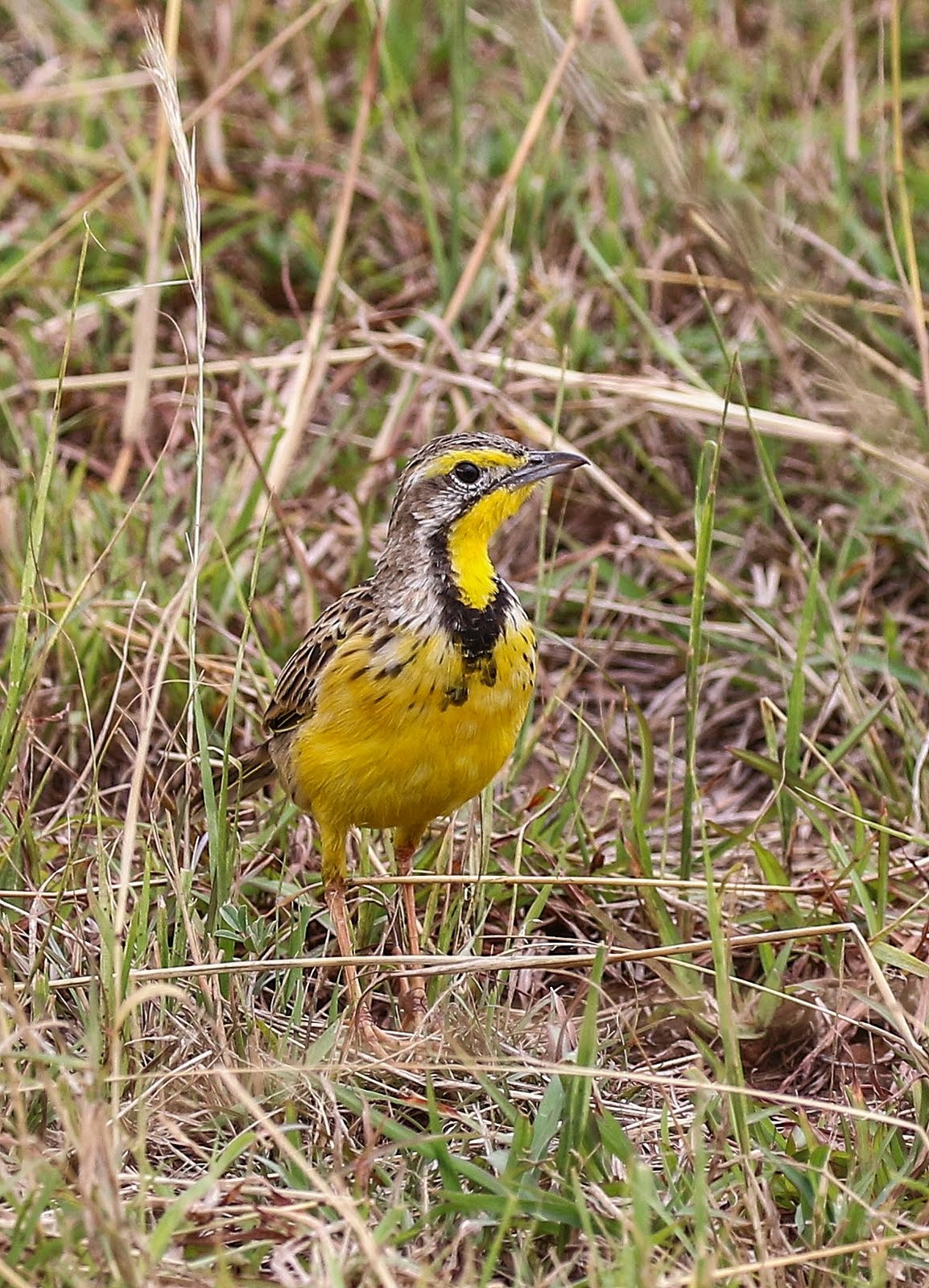 Yellow throated long claw