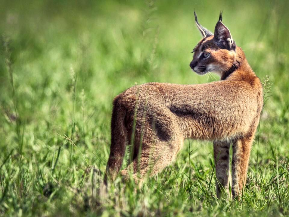 Caracal Victoria Young