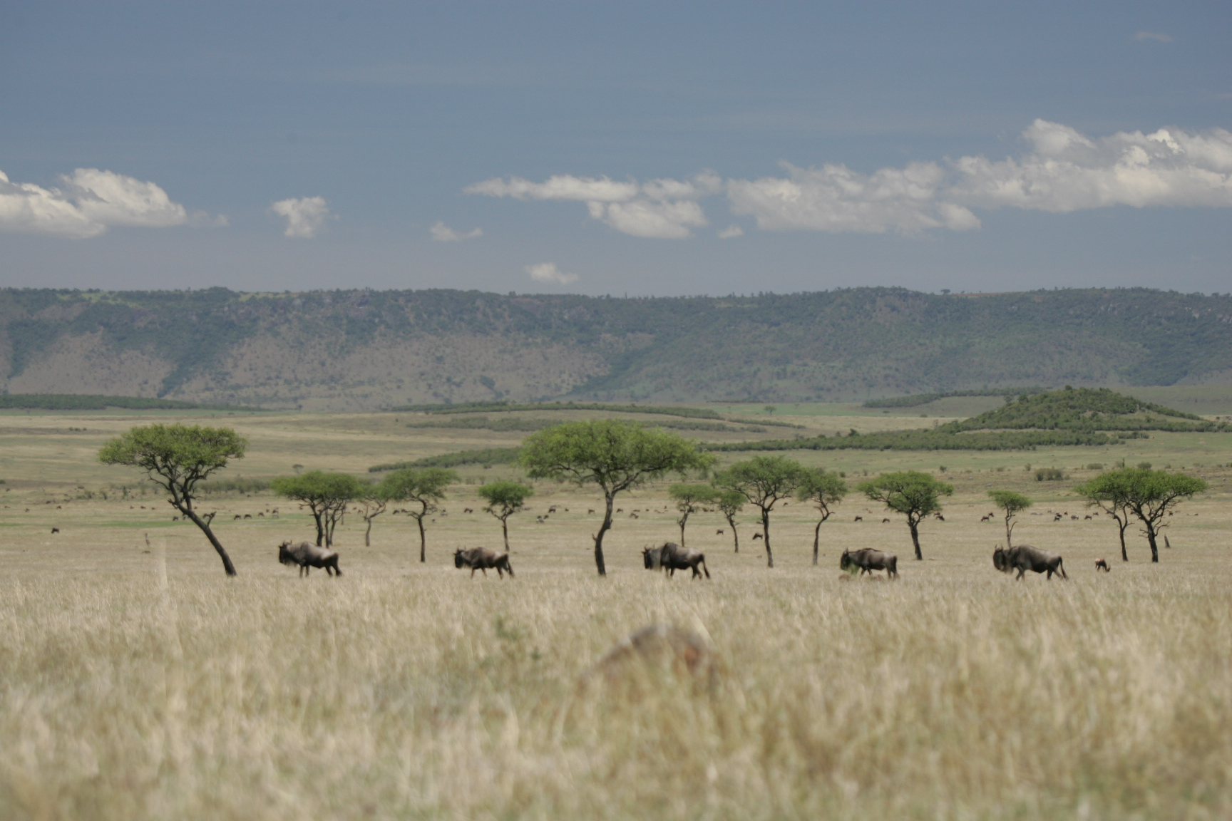Great Migration in the Masai Mara