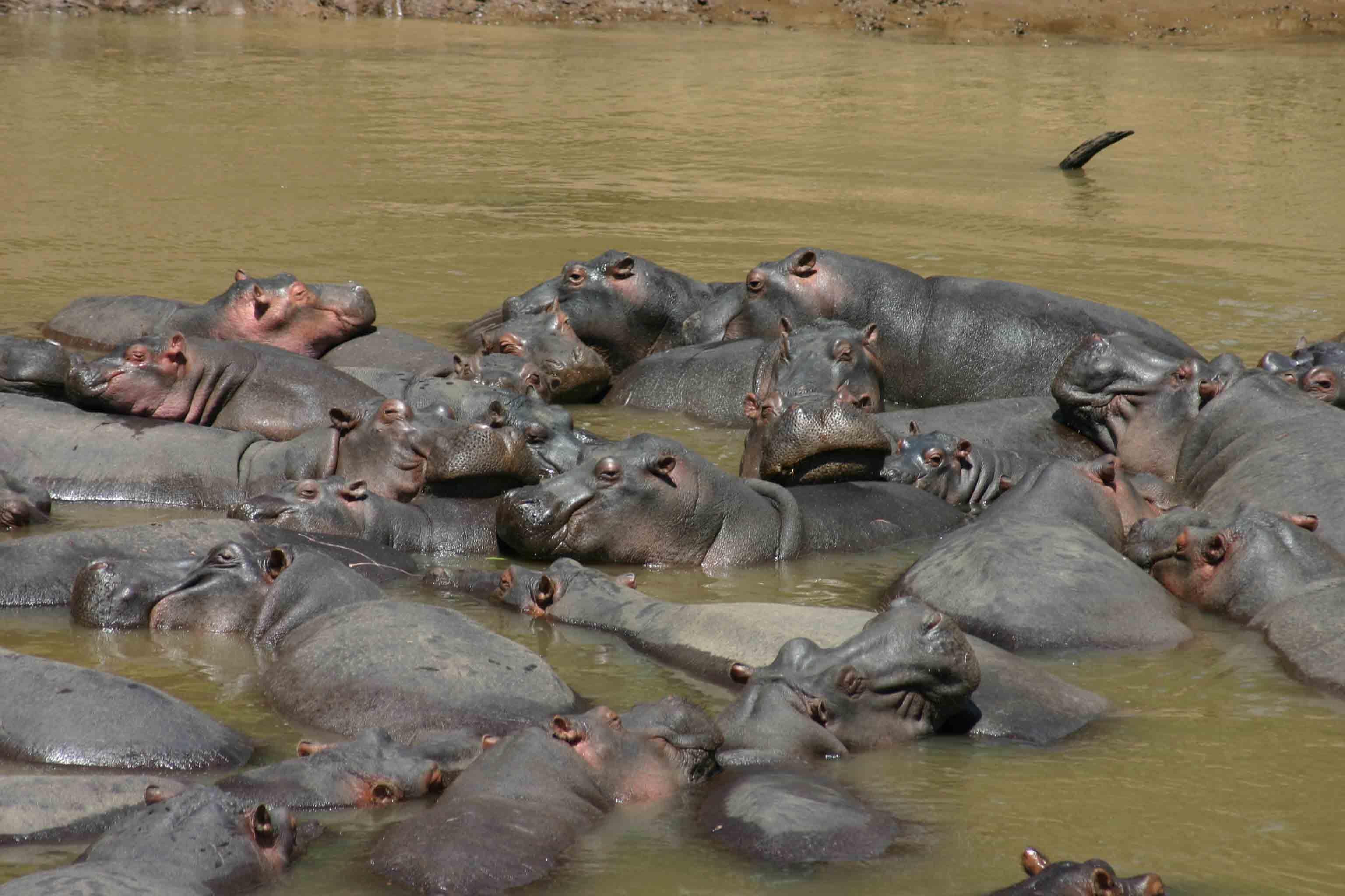 Hippos in the Mara