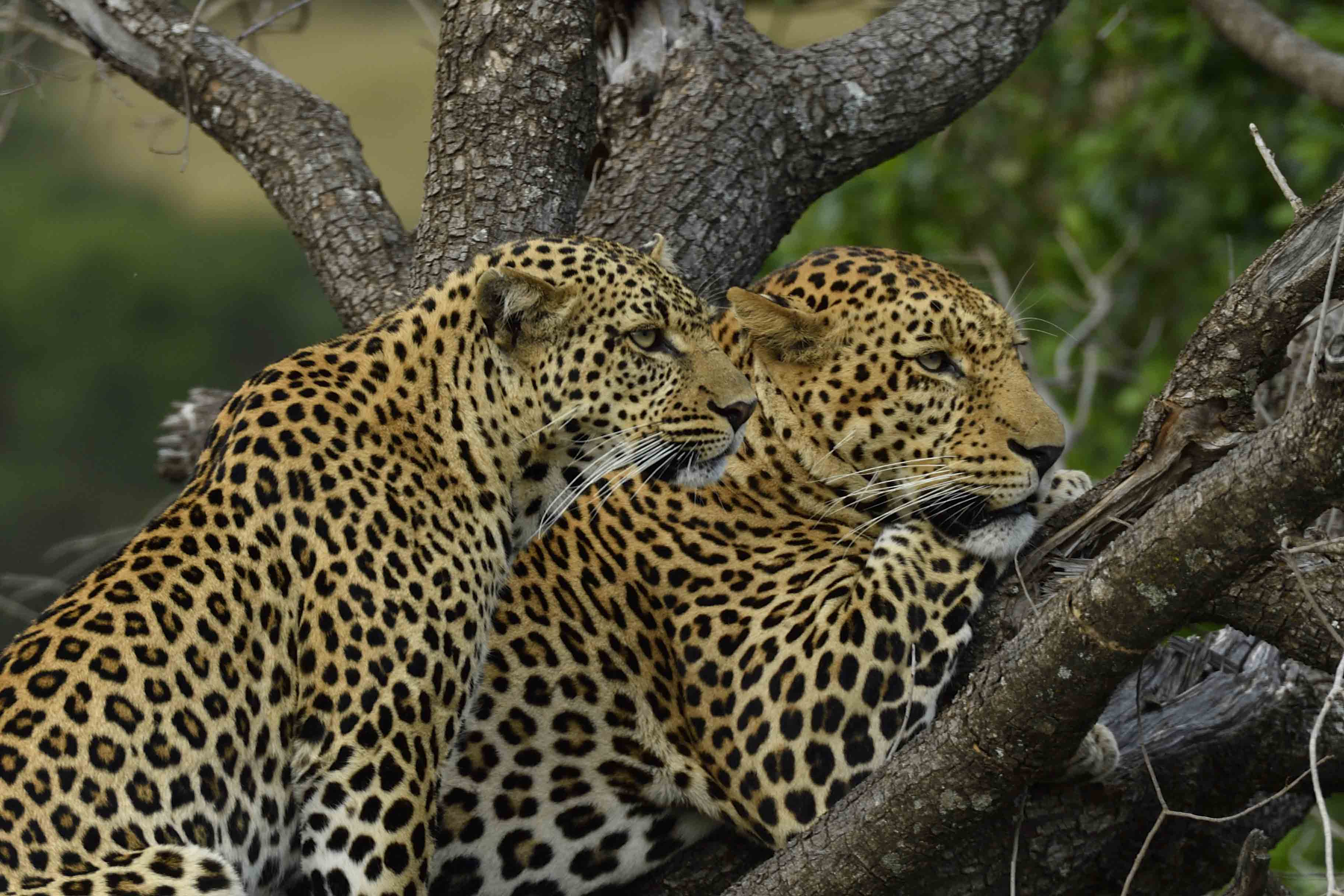 Leopards in Mara North Conservancy by Daniele Donati