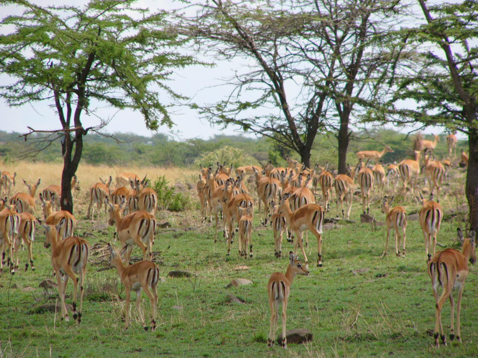 Mara impala