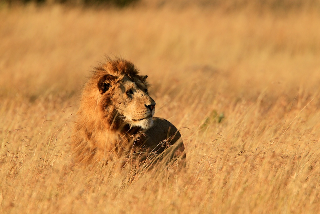 Mara lion in the grass by Mauro Mozzarelli